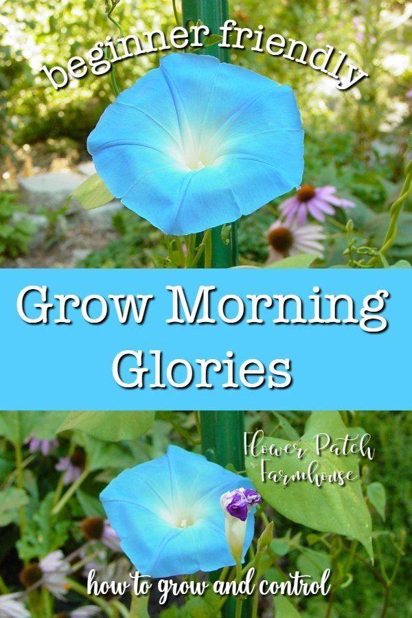 Easy To Grow Morning Glories A Privacy Screen From Seeds In 2020 Gardening For Beginners Garden Vines Morning Glory Flowers