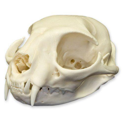 Real Domestic Cat Skull - Adult Skulls Unlimited International ...