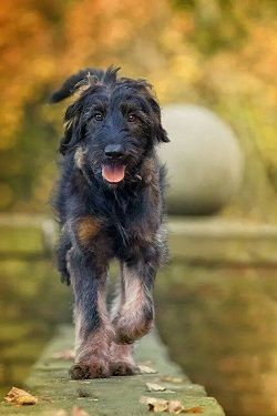 Shepadoodle German Shepherd Poodle Mix Info Puppies