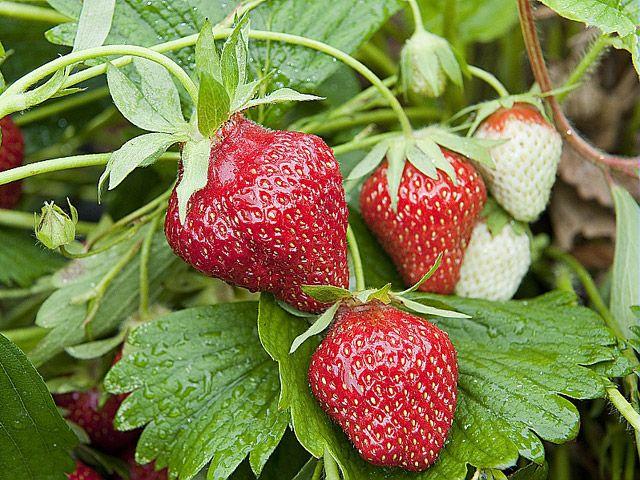 cultiver les fraises sur un mur vertical petit fruit balcons et fraisier. Black Bedroom Furniture Sets. Home Design Ideas