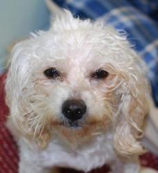 Adopt Dodi On Poodle Dog Poodle Mix Quiet Girl