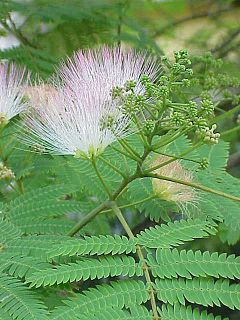 Tree Albizia Julibrissin Wikipedia The Free Encyclopedia Julibrissin Persian Silk Tree Mimosa Tree