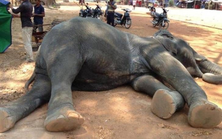 Elefante muere en Camboya tras sufrir un ataque al corazón mientras cargaba turistas en su espalda