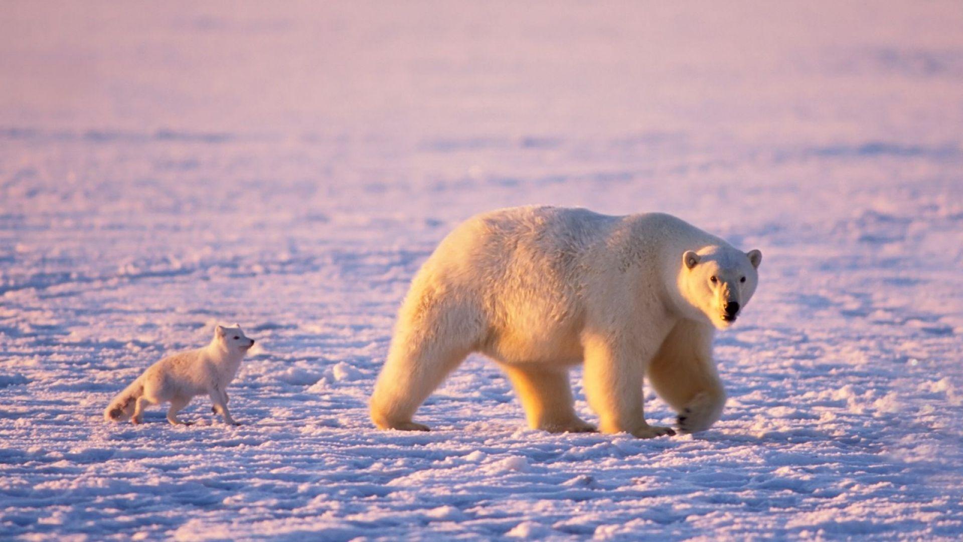 Download Wallpaper 1920x1080 Bear Polar Animal Snow Winter Full Hd 1080p Hd Background Polar Bear Wallpaper Polar Bear Polar Bear Facts