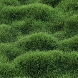 Zoysia Tenuifolia Is An Ornamental Grass Ground Cover With A Unique Clumping Or Mounding Appearance It Is Ornamental Grasses Landscape Design Garden Supplies