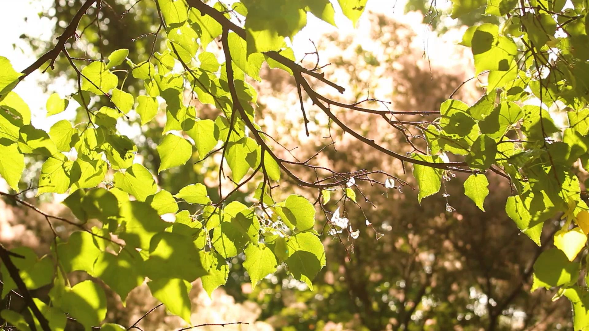 Beautiful green and brown nature foliage. Sun shines through green leaves  Stock Footage,#nature#foliage#brown#Beautiful | Foliage, Green leaves,  Summer trees