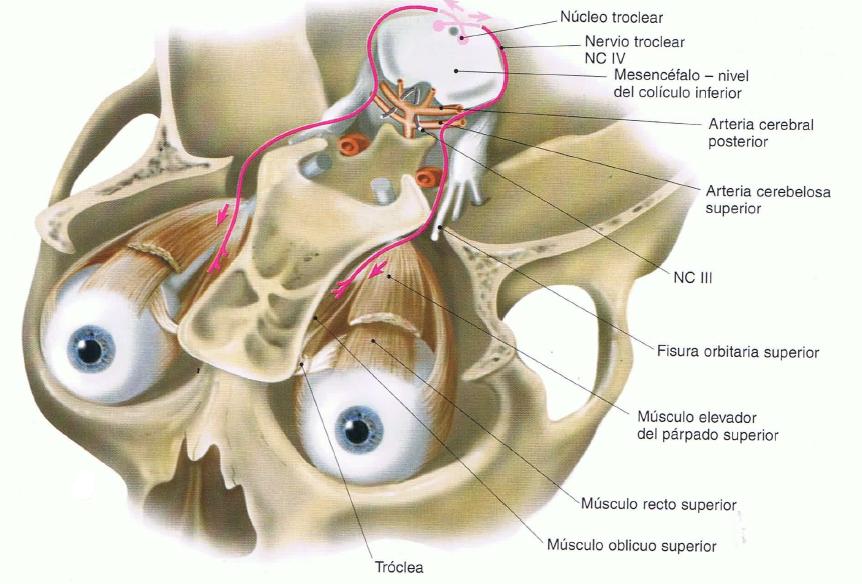 4 Par Craneal Nervio Troclear Nervios Craneales Nervio