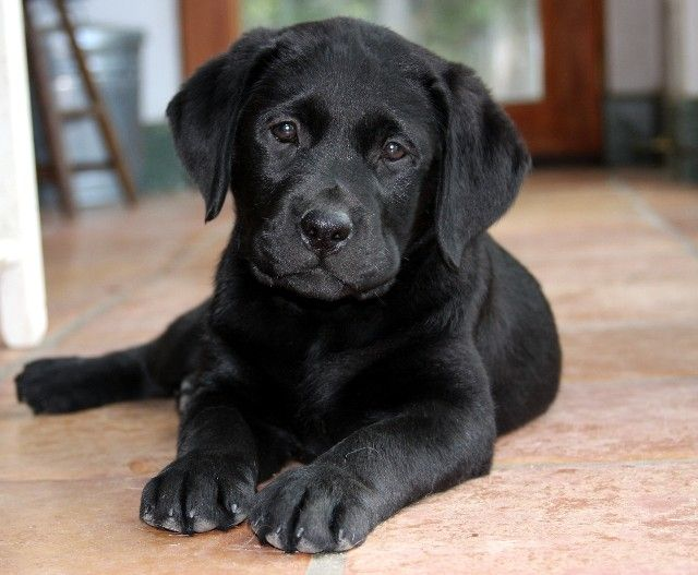 Barefoot Labradors Of Killingworth Ct Labrador Retriever Labrador Puppy Labrador