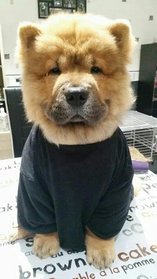 Haircut Bulldog French Bulldog Teddy Bear