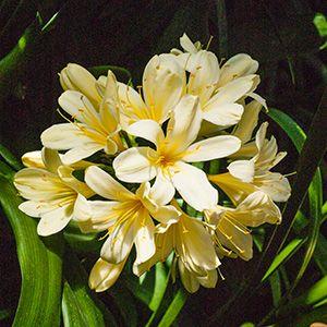 Colorado Clivia's plant number 522B.  Clivia miniata, Belgian Pastel x Powder Puff