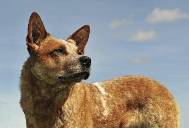 How To Train A Red Heeler Australian Cattle Dog Red Austrailian