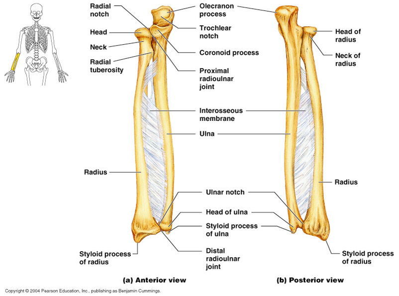 Anterior And Posterior View Of The Radial And Ulnar Bones Anatomy