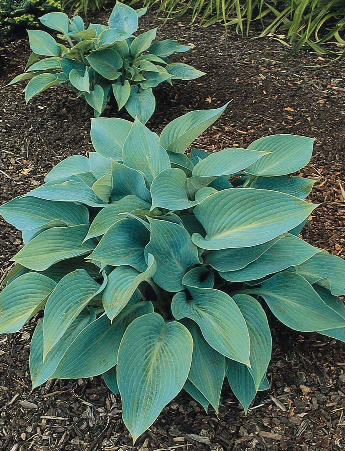Halcyon Plantain Lily Hosta X Tardiana Striking Blue Gray Foliage And A Compact Form Make This An Excellent Choice For The Small Garden