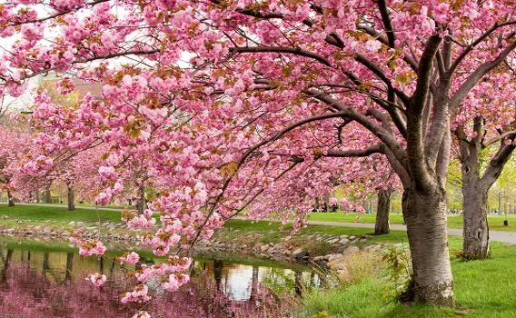 Boston Massachusetts Spring S Almost Here The Most Amazing Cherry Blossom Viewing Around The World Spring Landscape Spring Scenery Cherry Blossom