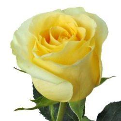 Lemon Dream Us 25 50 Roses To Philippines Valentine S Day Gifts To Philippines Mother S Day Gifts To Philippines Flowers Funeral Flowers Freesia Flowers