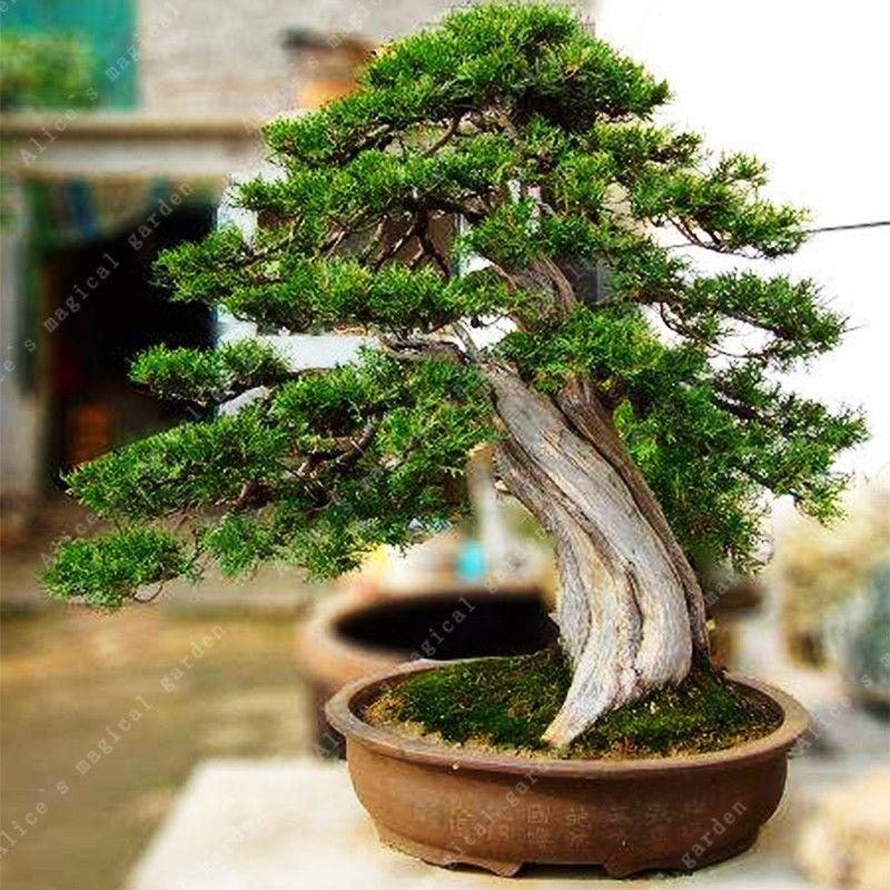 50 Pcs Platycladus Thuja Orientalis Arborvitae Bonsai Seeds Four Seasons Evergreen Ornamental Longevity Plant Affiliate