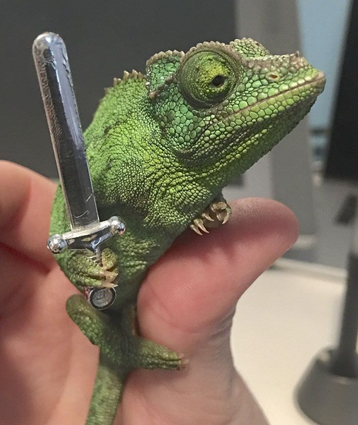 Someone Just Noticed That Chameleons Will Hold Onto Anything You Give Them And It S Hilarious Chameleon Memes Bored Panda