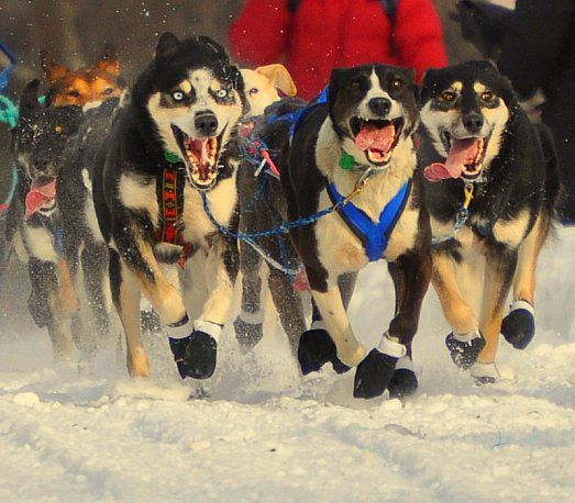 Iditarod Dogs Passion In Their Faces Dogs Dog Runs Dog Art