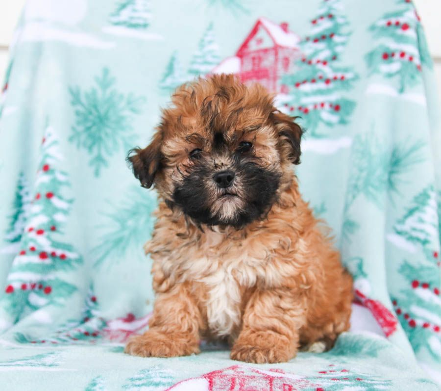 Pin By Lancaster Puppies On Cute Dogs In 2020 Shih Poo Shih Poo Puppies Puppies For Sale