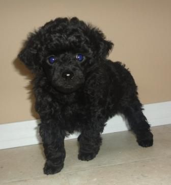 Black Teacup Poodle Cute Little Balls Of Energy Poodle Puppy