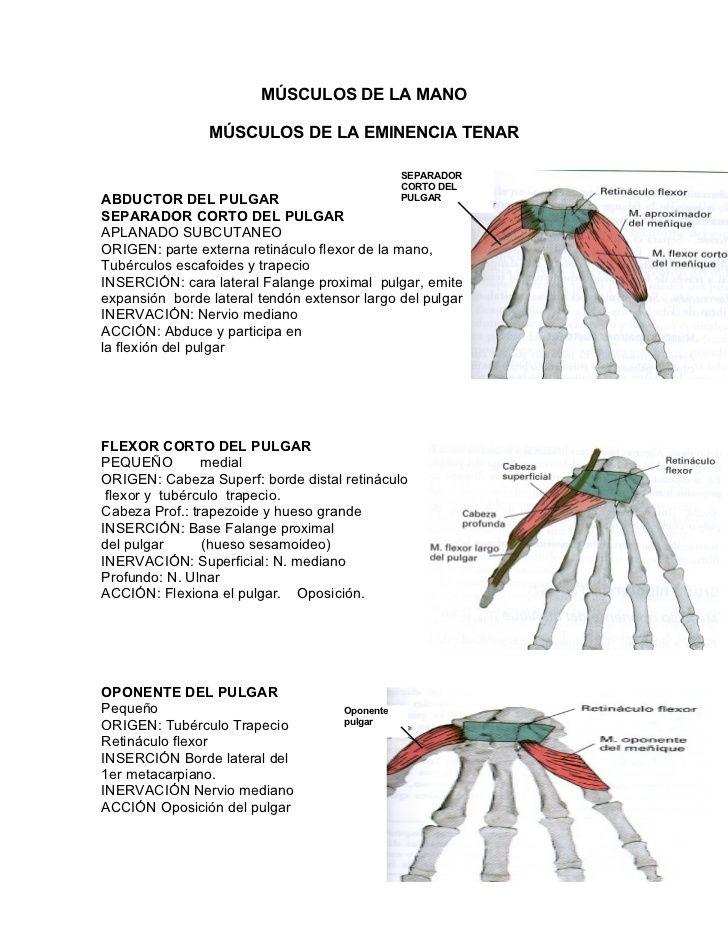 Increíble Músculos Del Pulgar Anatomía Regalo - Anatomía de Las ...
