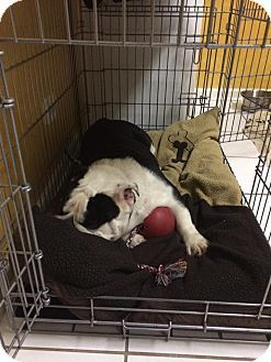 Park Ridge Il English Bulldog Meet Zoe A Dog For Adoption Http Www Adoptapet Com Pet 11909855 Park Ridge Illinois With Images English Bulldog Bulldog Dog Adoption