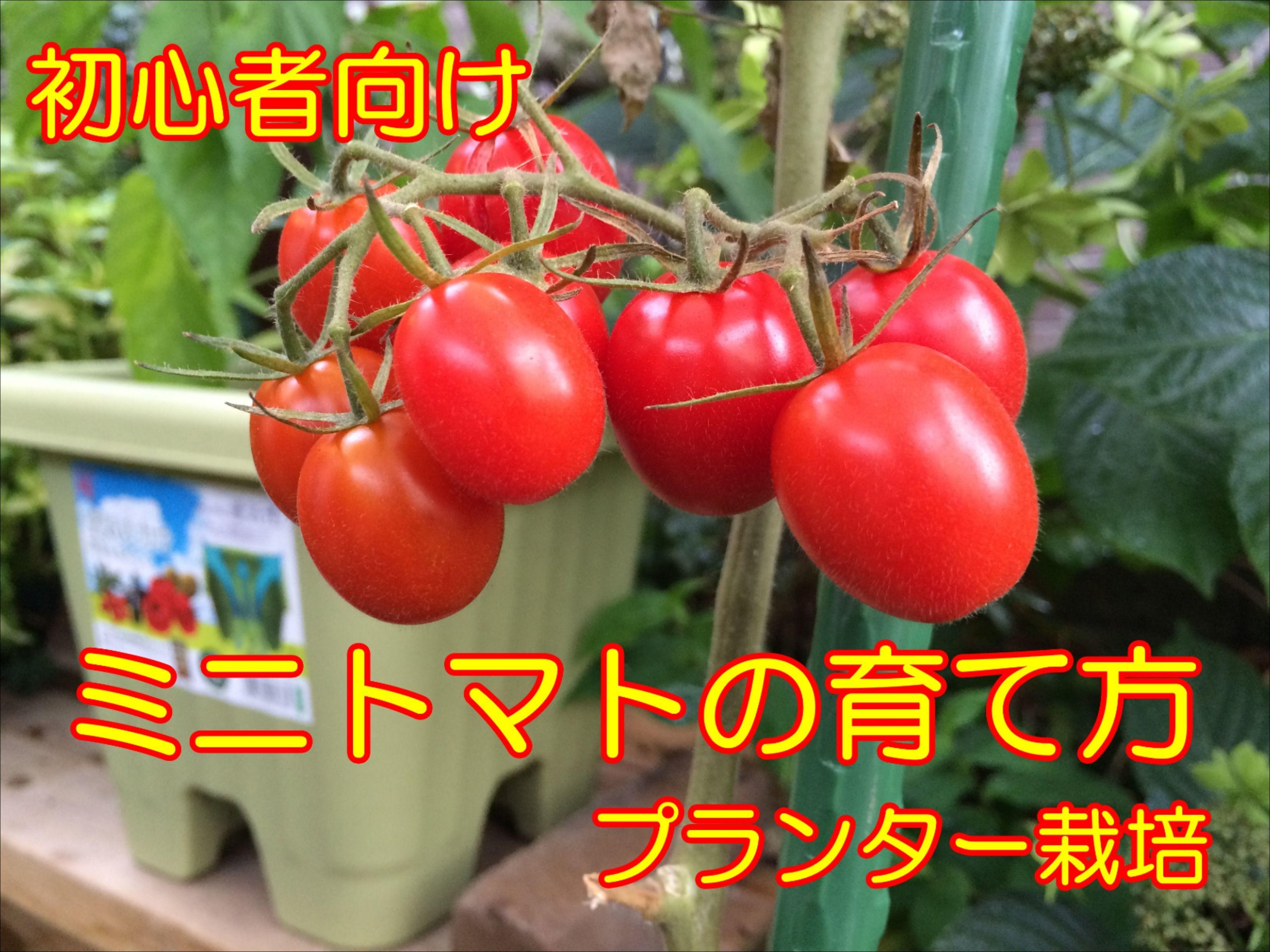 ミニトマトの育て方 プランターで初心者がベランダ栽培できる方法