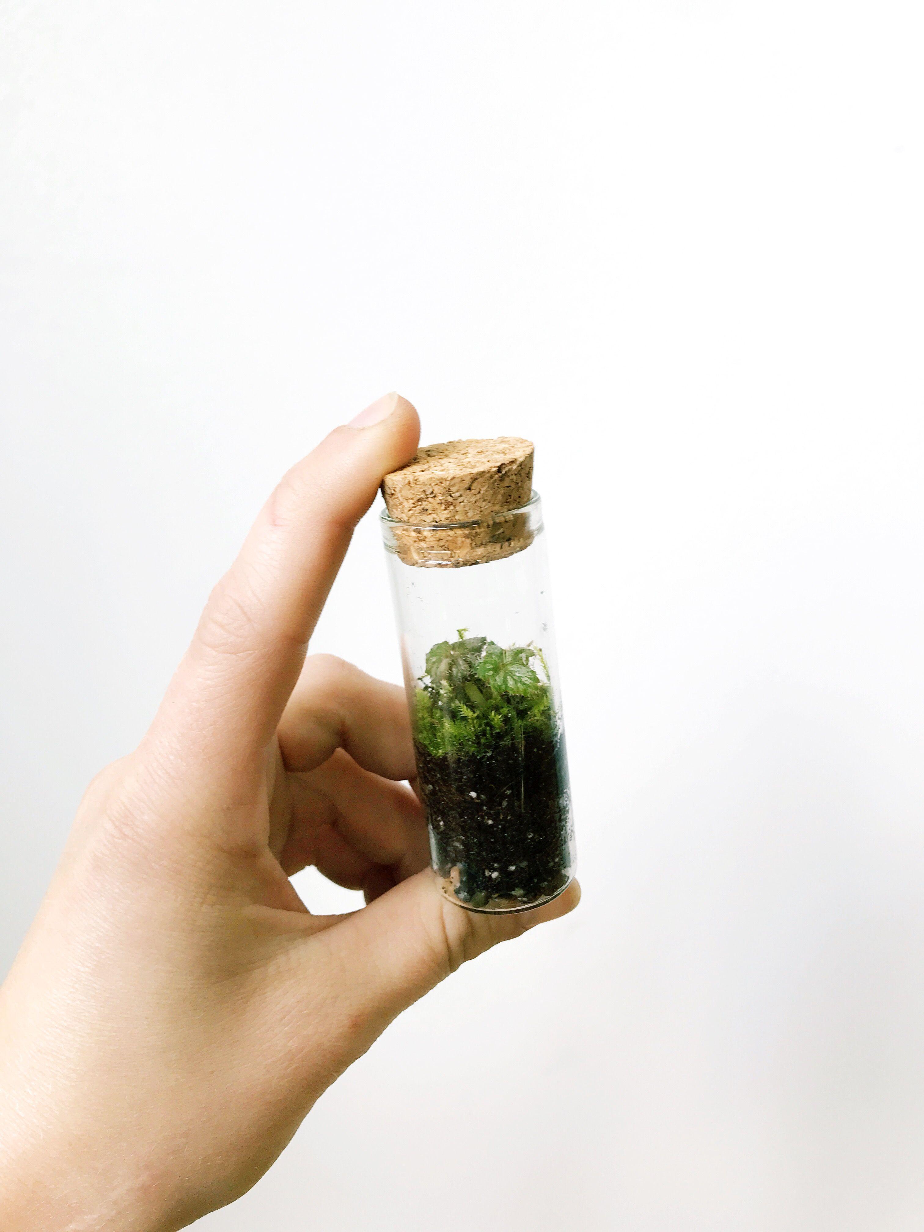 Miniature Terrarium Mini Begonia Tiny Roosevelts Terrarium Diy