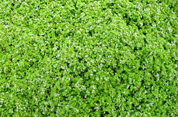 Mentha Requienii Corsican Mint Wonderful Mat Forming Groundcover That Features Tight Green Aromatic Foliage Tiny Lavende Corsican Mint Plants Ground Cover