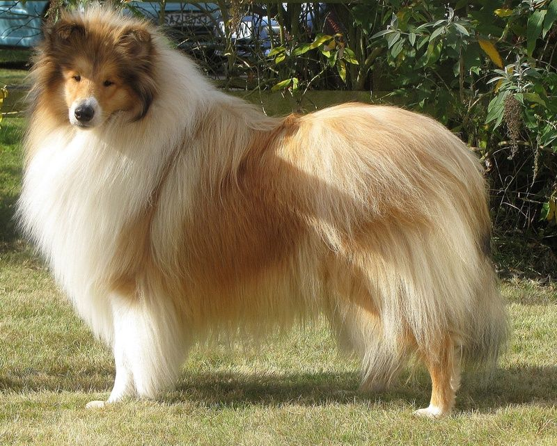 Rough Long Haired Collie Rough Collie Collie Best Dogs