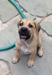 Adopt Archie on #blackmouthcurdog I wantttt! Archie is an adoptable Black Mouth Cur Dog in Houston, TX. Archie is one of Petra's 5 puppies!  They were born at BARC on 5/15/2013 and the whole family was rescued just days later by Pup Squad so the... #blackmouthcurdog Adopt Archie on #blackmouthcurdog I wantttt! Archie is an adoptable Black Mouth Cur Dog in Houston, TX. Archie is one of Petra's 5 puppies!  They were born at BARC on 5/15/2013 and the whole family was rescued just days later by Pu #blackmouthcurdog