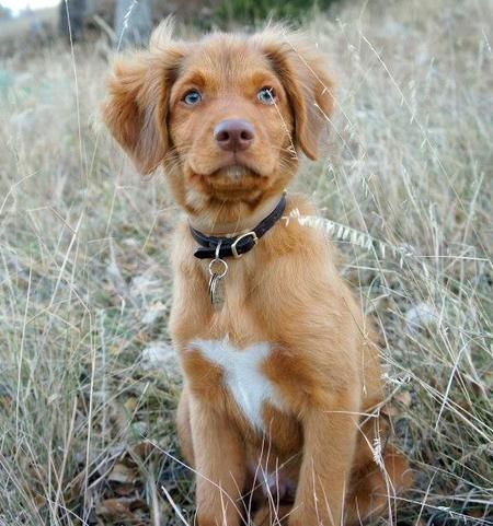 Ruddy The Duck Tolling Retriever Cute Animal Pictures Cute