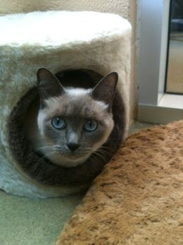 Sophia 5 Year Old Blue Point Siamese Available For Adoption At