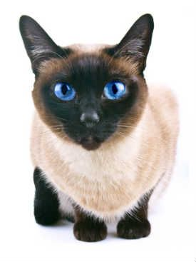 Siamese with very blue eyes.