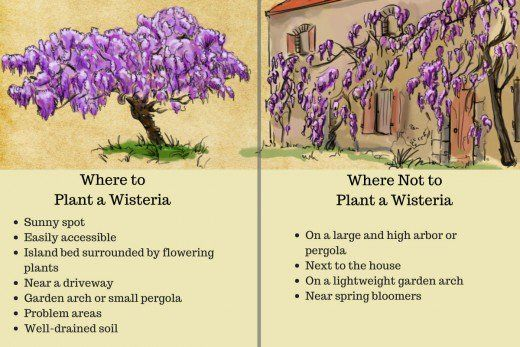 How To Plant Prune And Care For Wisterias Wisteria Plant Wisteria Tree Beautiful Flowers Garden