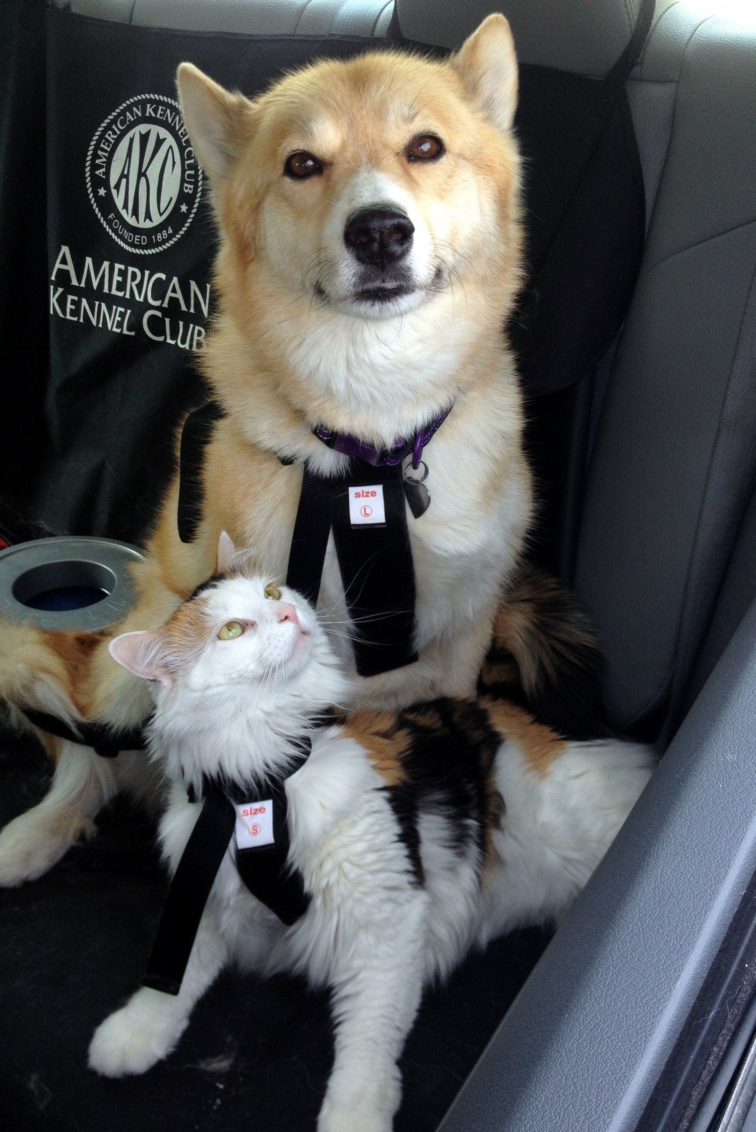 Traveling Cats Keeping them Safe in the Car Pet travel
