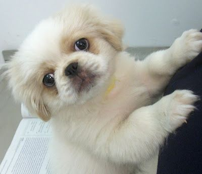 Pekingese Puppies Pictures Review Pekingese Puppies