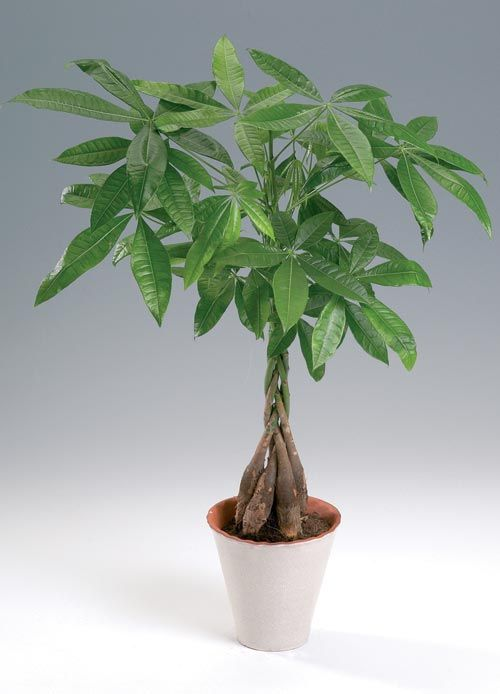 Plantas interior Jardineria: PACHIRA (PACHIRA AQUATICA) | plantas ...