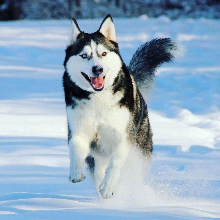 Find Out More On Bold Siberian Huskies Dogs And Kids