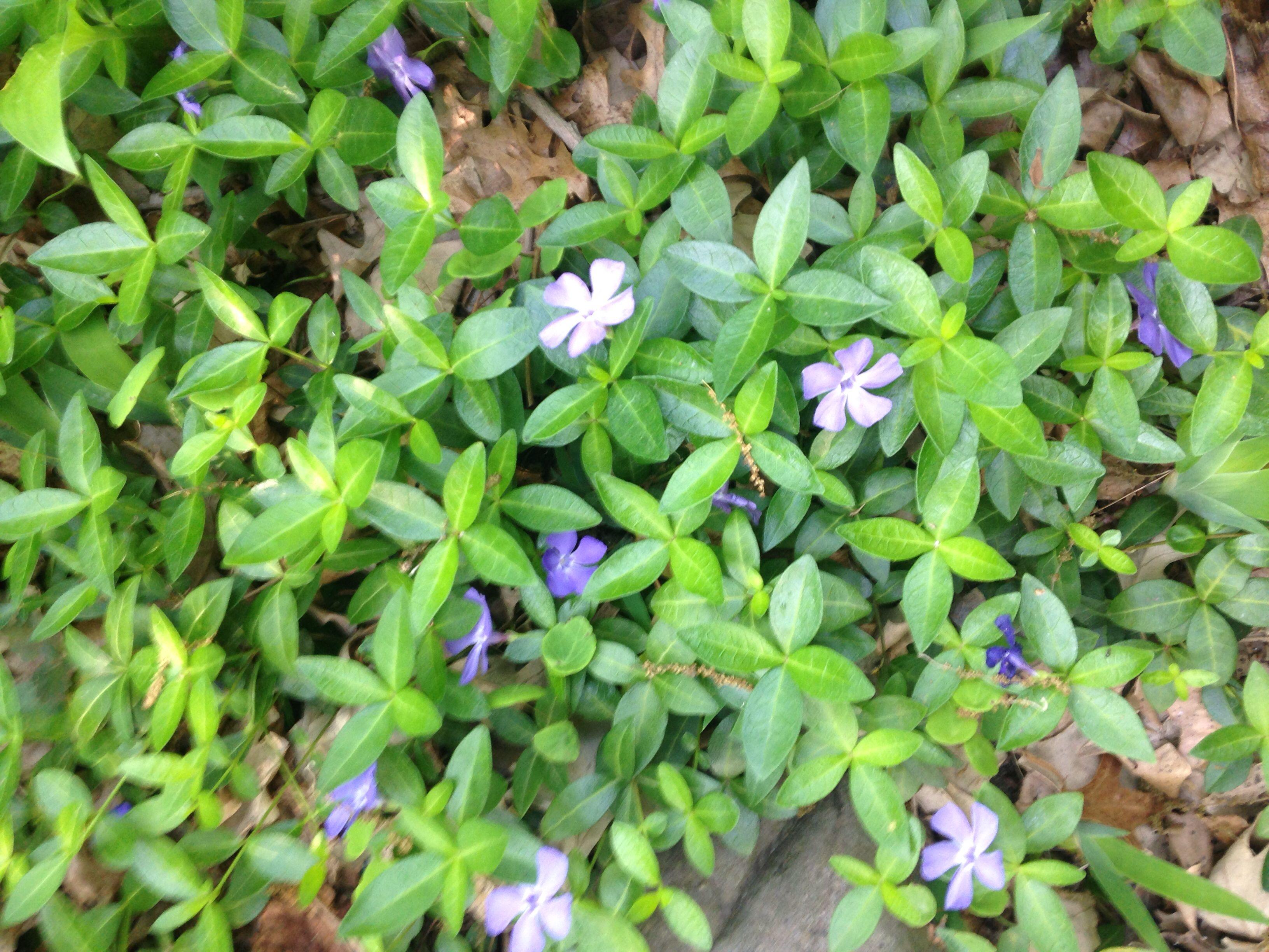 Perennial Vinca Minor Beautiful Vining Ground Cover Perennials