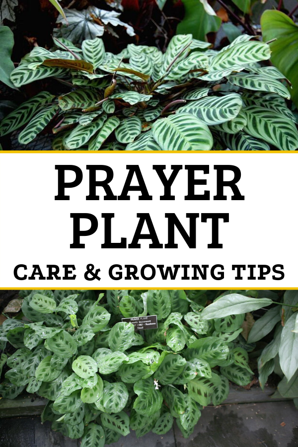 How To Care For The Lovely Prayer Plant At Home Prayer Plant Care Plants Plant Care