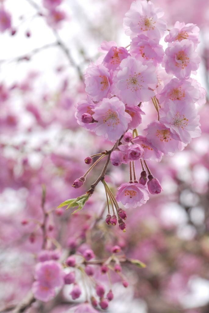 What Inspires Pink Flowering Trees Sakura Cherry Blossom Beautiful Flowers