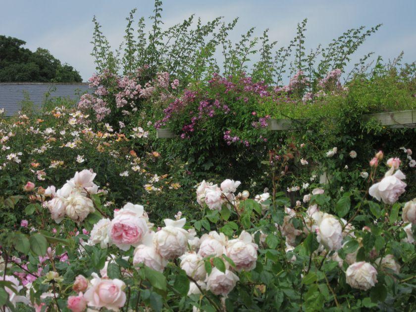 David Austin Roses At Their Albrighton Nursery Gardens