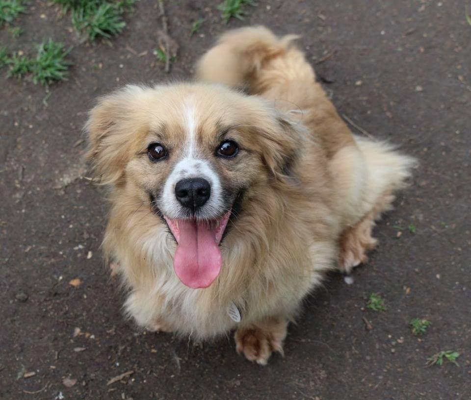 Kenny Tibetan Spaniel cross Dogs, Animals