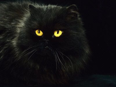 Black Cats Need Adoptive Homes In 2020 Fluffy Black Cat Black Cat Art Pretty Cats