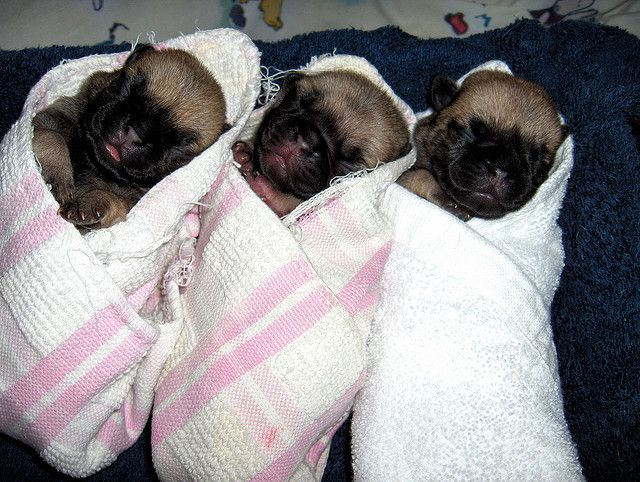 Black Baby Pug With Images Black Pug Puppies Baby Pugs