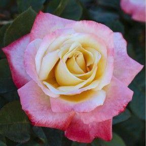 Rosier LAETITIA CASTA ® Meilampario #knockoutrosen #Parfum #Rosier #Bicolore #Blanc #Rose #Laetitiacastarose #Hybridetea #Floribunda #Déco #Jardin #Garden #Meilland #knockoutrosen Rosier LAETITIA CASTA ® Meilampario #knockoutrosen #Parfum #Rosier #Bicolore #Blanc #Rose #Laetitiacastarose #Hybridetea #Floribunda #Déco #Jardin #Garden #Meilland #knockoutrosen Rosier LAETITIA CASTA ® Meilampario #knockoutrosen #Parfum #Rosier #Bicolore #Blanc #Rose #Laetitiacastarose #Hybridetea #Floribunda #D #knockoutrosen