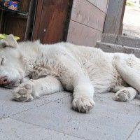 #dogalize Peleas de perros: logran rescatar 230 perros para peleas #dogs #cats #pets