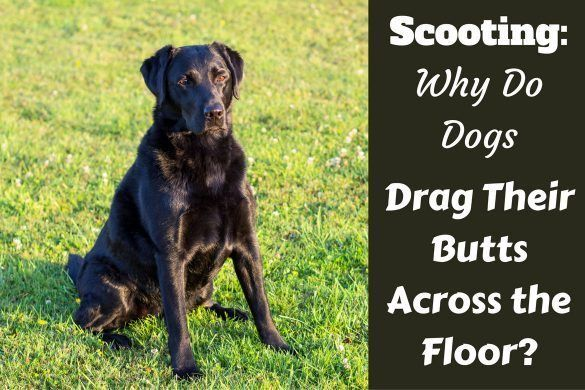 Recall How To Train Your Labrador To Come Back When Called Dog