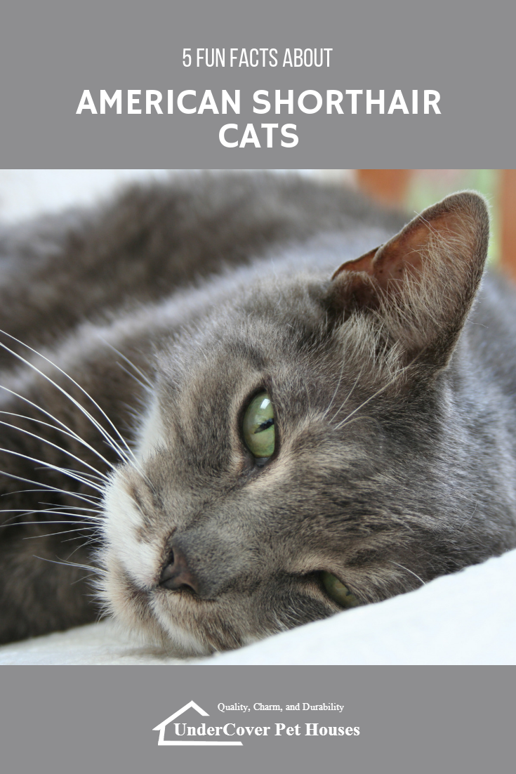 5 Fun Facts About American Shorthair Cats